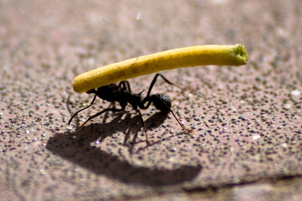 Ant lifting photo by Pablo Romeo. License: CC BY 2.0.